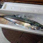 香川県さぬき市沖で釣れた鰆