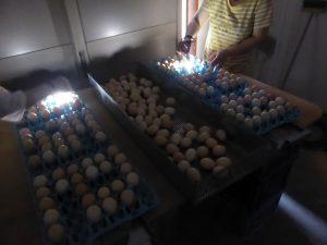 烏骨鶏卵 移卵時の検卵