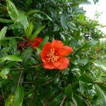 松本ファームのザクロの花